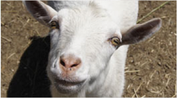 Close-up photo of a goat's face.